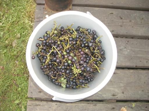 山ブドウ収穫