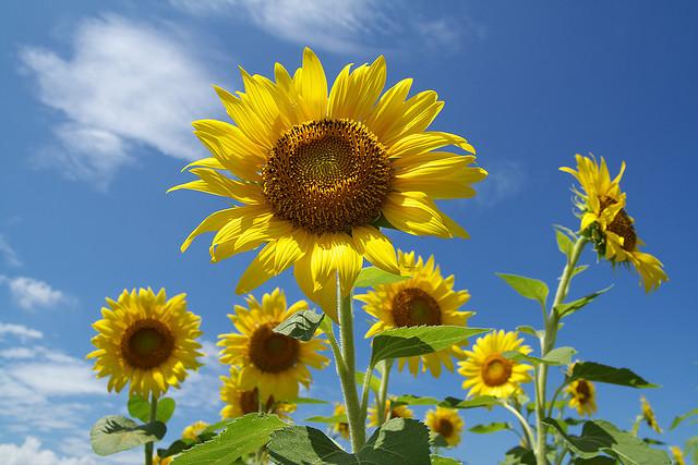 sunflower_20120726.jpg