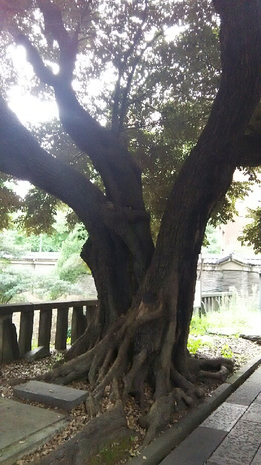 湯島聖堂 楷の木