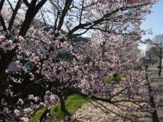 0427桜01
