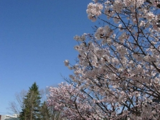 0427桜03