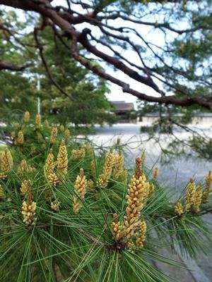 京都御苑の松の新芽1604