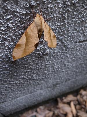 木の葉蝶1608