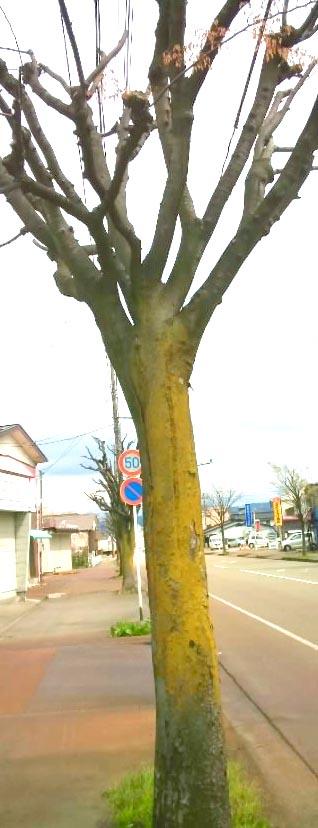 街路樹のカビ