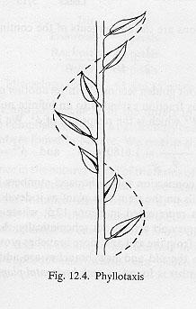 phyllotaxis.jpg