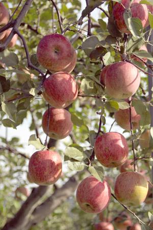 信州のりんご001