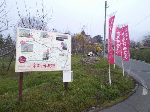 古代桜めぐりコース案内看板前(28.4.12)
