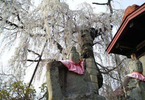 隆谷寺のしだれ桜(28.4.12)