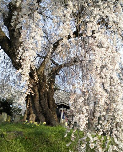 区民会館前のしだれ桜(28.4.12)