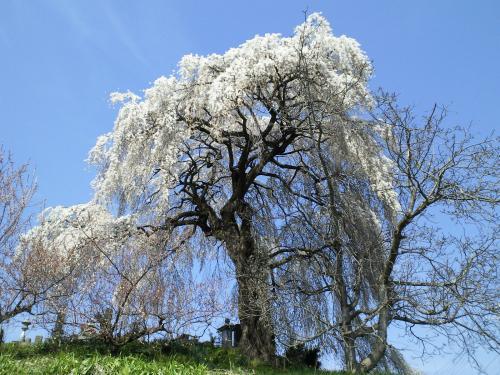大久保のしだれ桜(28.4.12)