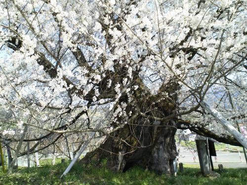 宇木のエドヒガン千歳桜(28.4.12)