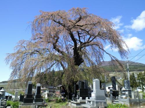 17日の区民会館前のしだれ桜(28.4.17)