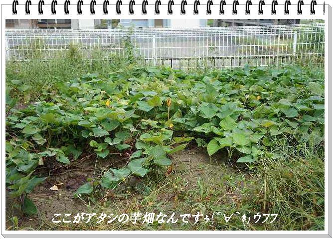 芋畑なんです