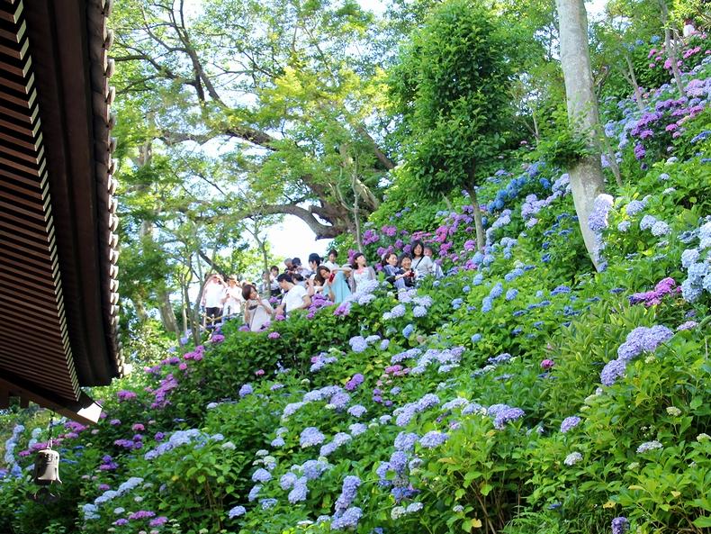 鎌倉長谷寺 輪蔵から見上げたあじさい散策路