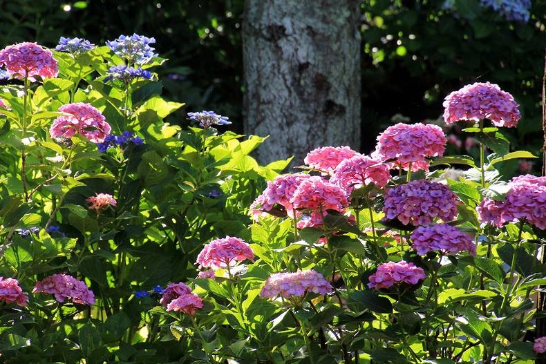 長谷寺あじさい散策路 木漏れ日を浴びた紫陽花