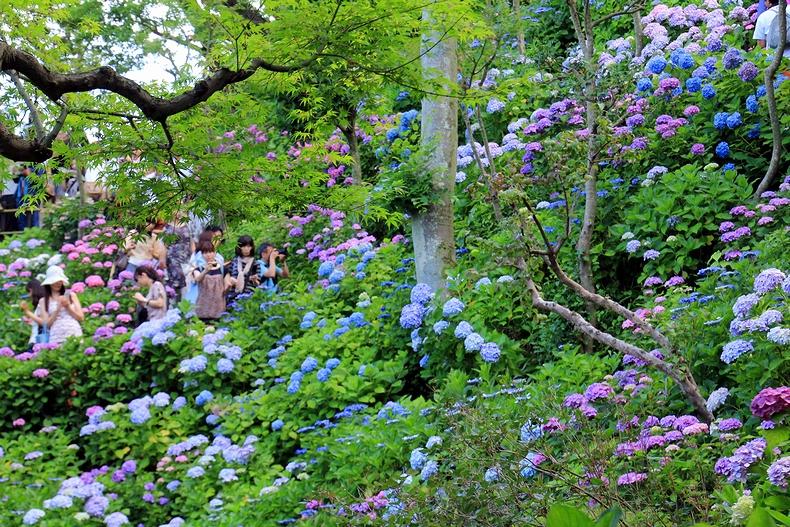 あじさい散策路を歩いて 鎌倉・長谷寺