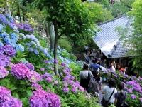 長谷寺の紫陽花散策路