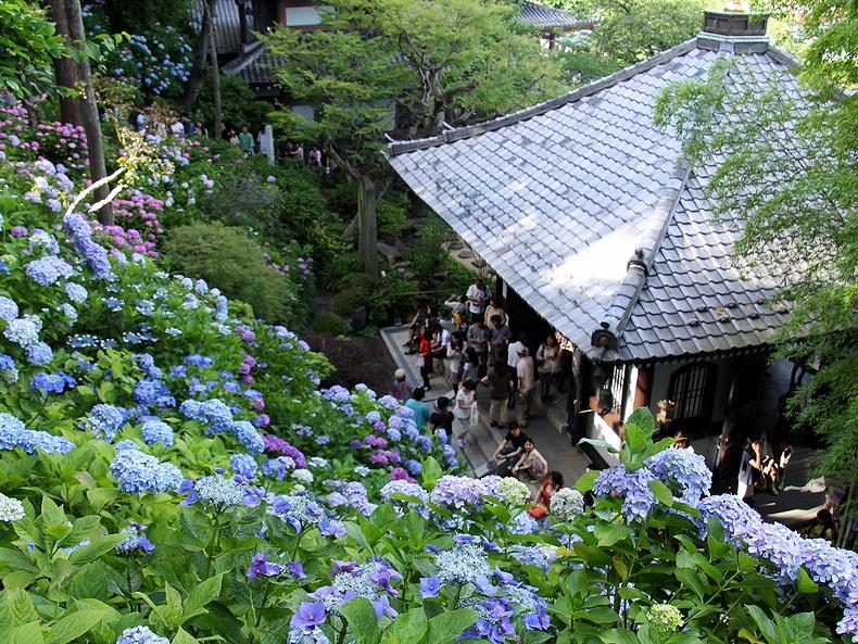 あじさい散策路の絶景 鎌倉・長谷寺