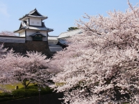 金沢城・兼六園の桜