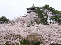 丸岡城の桜景色