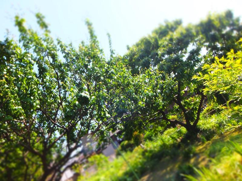 2016初夏 畑の木