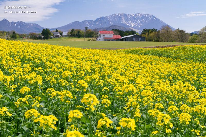 名和 大山 菜の花