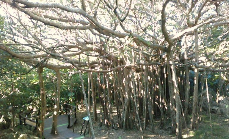 ガジュマルの神木