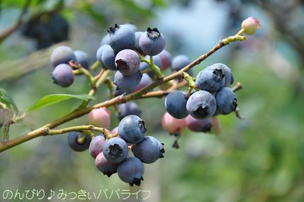 blueberrygari20160704.jpg