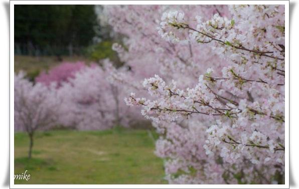 桜604028