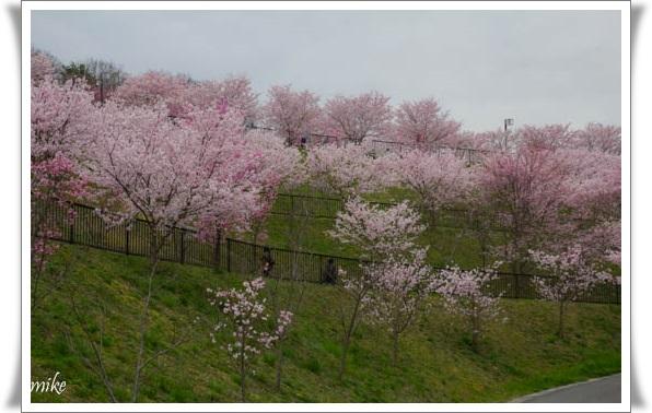 桜604027