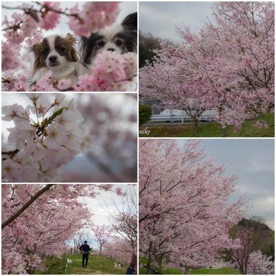 桜604022