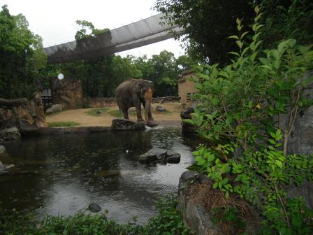 5 アジア象のラニー博子が水辺に来てます