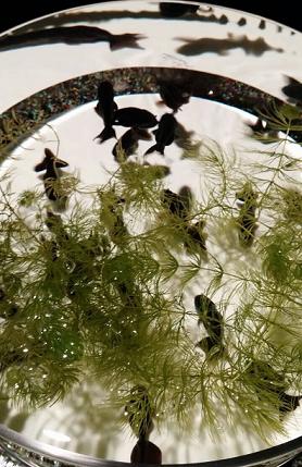 19 おなじみの黒い金魚もいます