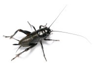 stock-photo-17358117-black-cricket.jpg