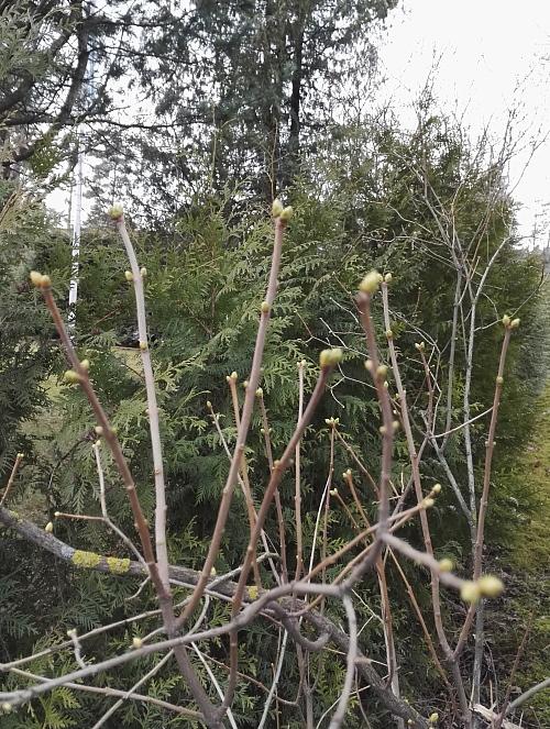 フィンランド 春 木の芽