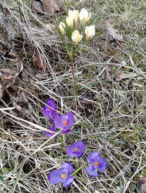 フィンランド 春 花 クロッカス