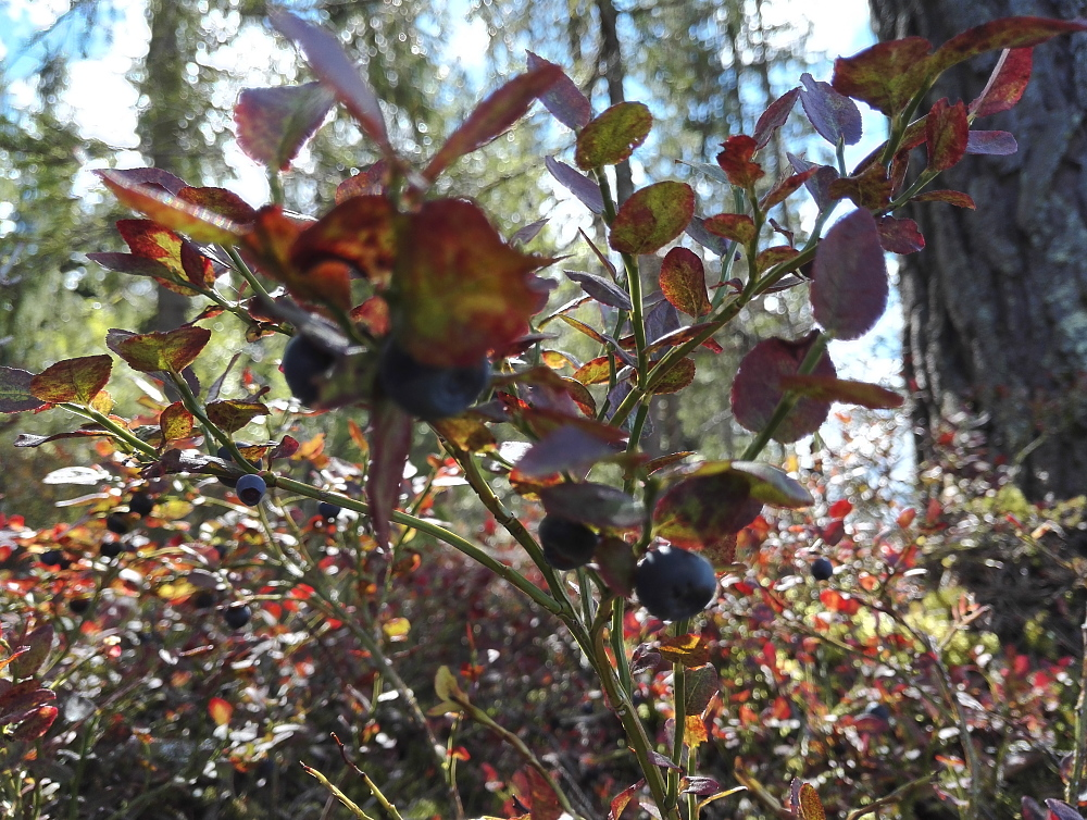 フィンランド ブルーベリー狩り Mustikka Syksy Blueberry