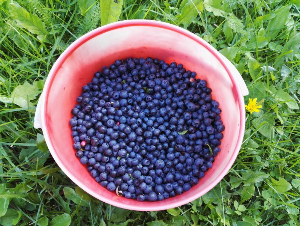 フィンランド ブルーベリー狩り Mustikka Blueberry Finland