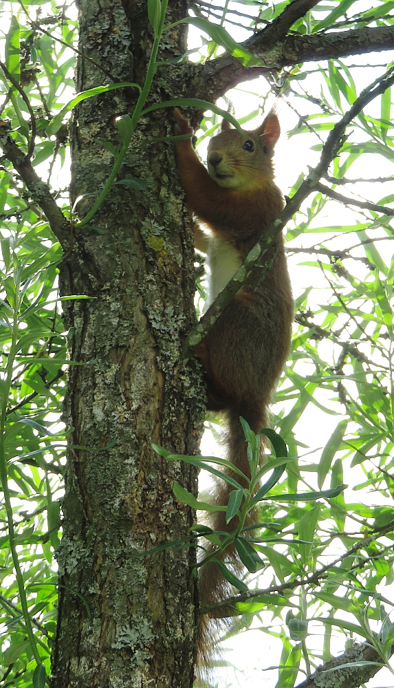 フィンランド 庭 リス Orava Squirrel