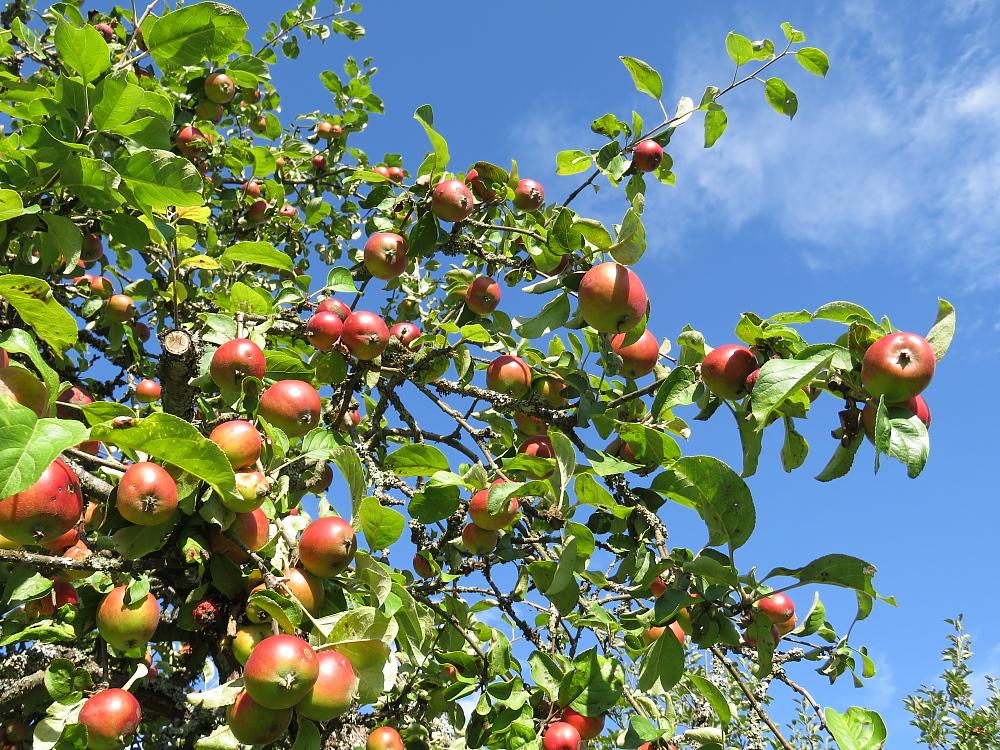 フィンランド 秋 庭 リンゴ りんご 林檎
