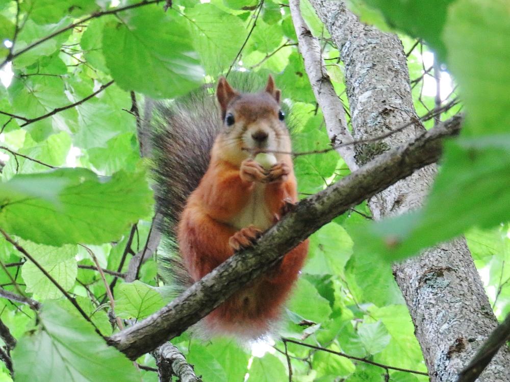 フィンランド リス 木の実 ナッツ 庭 Orava Squirrel