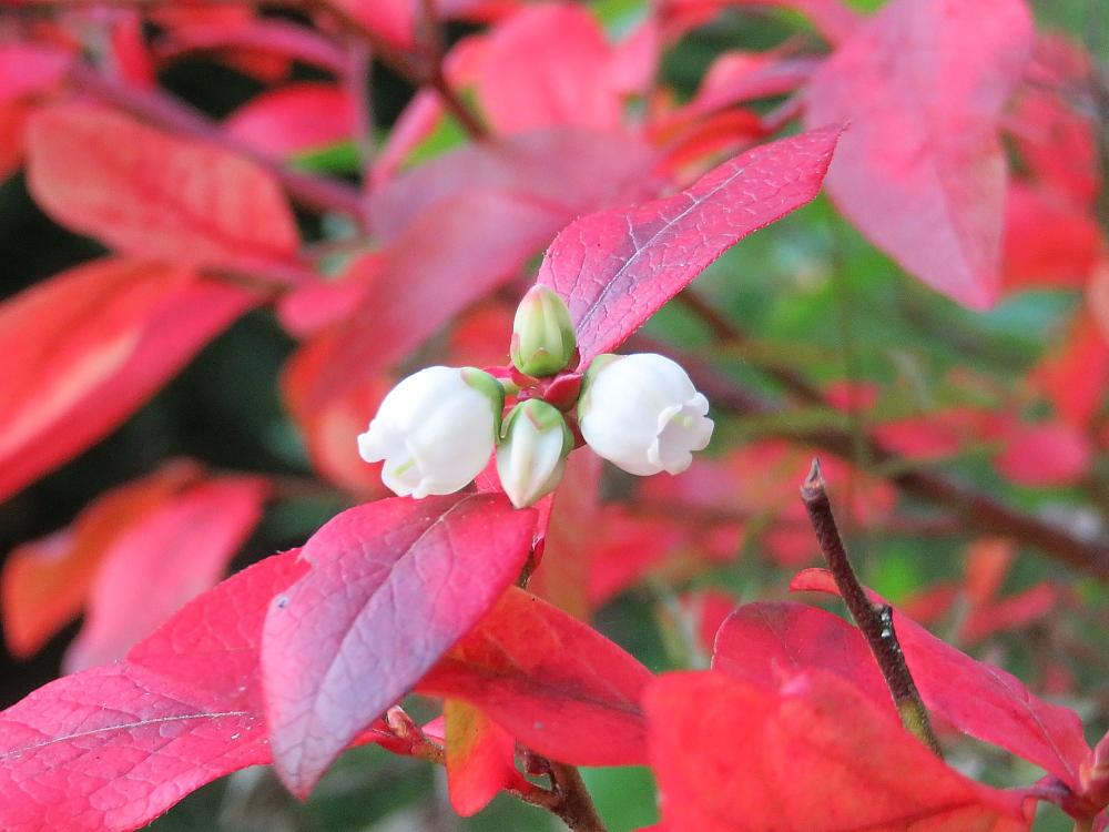 フィンランド 秋 紅葉 ブルーベリー 花 可憐