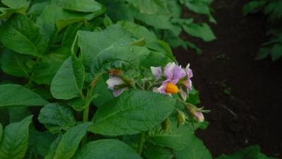 2016.5.8菜園ジャガイモ