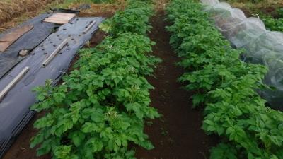 2016.5.8菜園ジャガイモ2