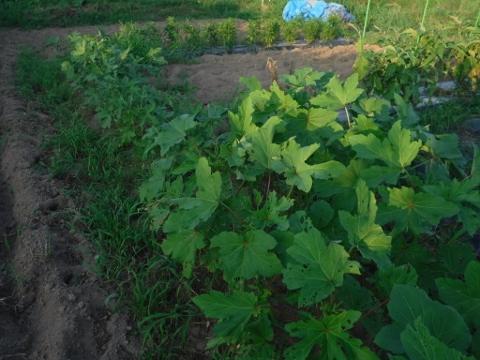 2016.7.21菜園3