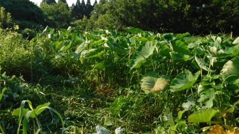2016.7.31菜園15