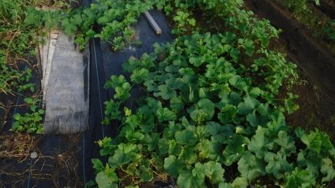 2016.9.24菜園5