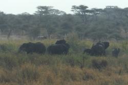 ゾウの向こう側を走るカバ