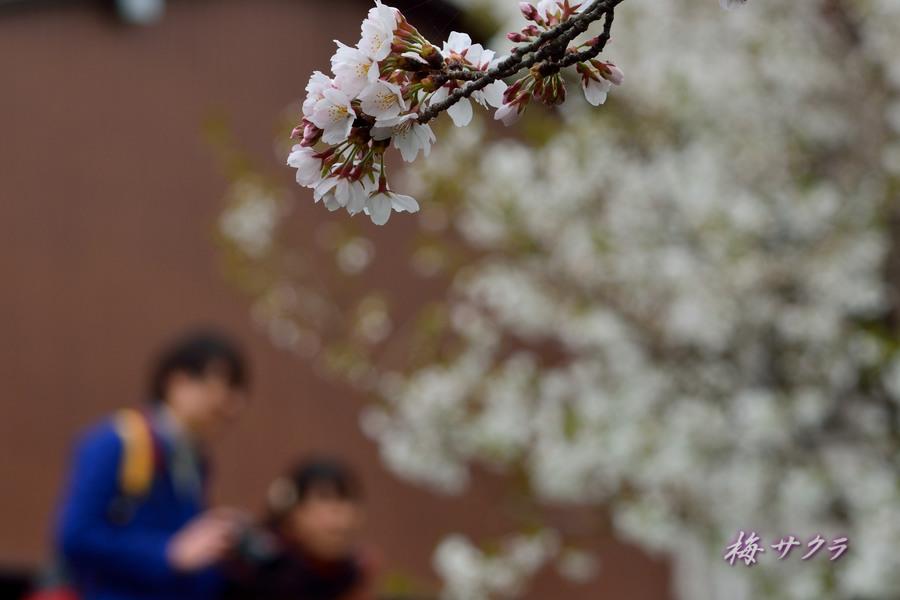 小江戸川越桜祭り1(誉桜4)変更済