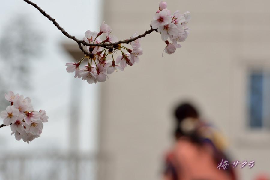 小江戸川越桜祭り1(誉桜5)変更済